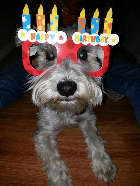 mini schnauzer henry sending birthday love