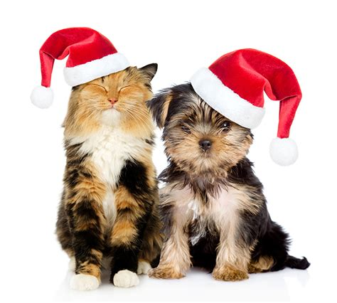 Happy Wallpaper Cats And Dogs by Image Terrier Cats Dogs New Year Two Winter Hat
