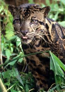 big cat species new species of leopard with largest fangs in cat world