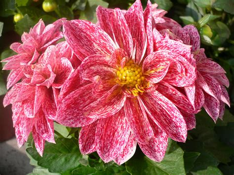 plants in mexico dahlia tuberous perennial plants native to mexico flickr photo sharing