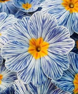 Buy hardy perennial Primrose 'Zebra Blue' | Bakker.com  Blue