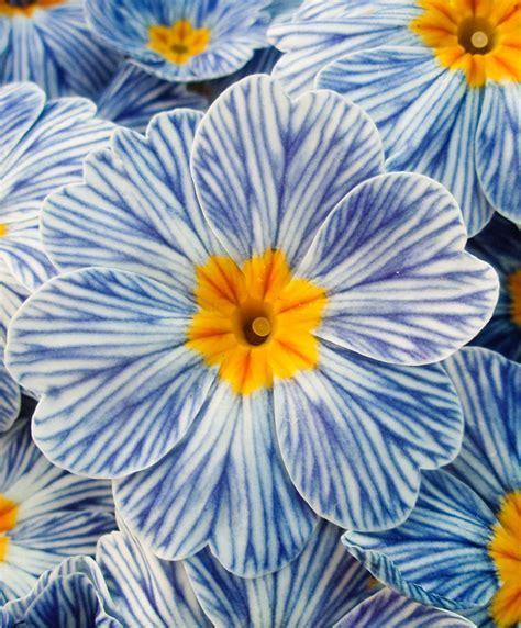 Buy hardy perennials now Primrose ?Zebra Blue?   Bakker.com
