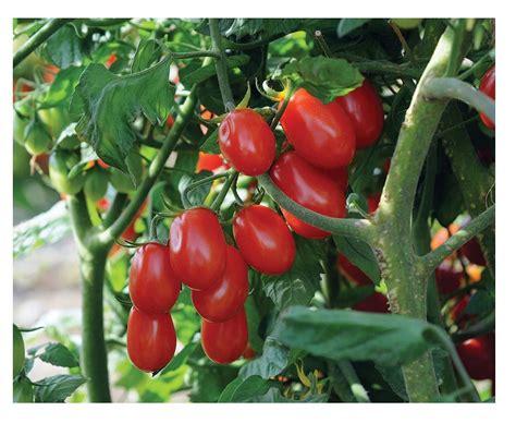 Buy Grape Tomato Seeds