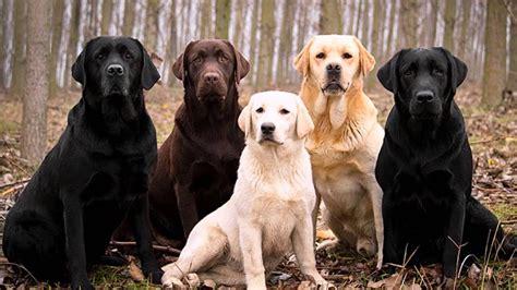 Razas De Perros Labrador Retriever