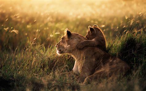 nature lion baby animals wallpapers hd desktop