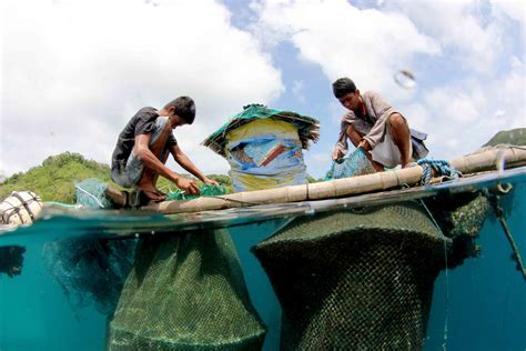 grouper taytay mariculture cycle cages lao jun palawan groupers declining stocks solution juvenile municipality dozens offshore floating northern