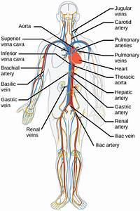 Mammalian Heart And Blood Vessels