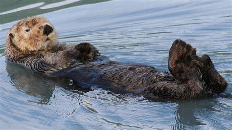 otters mammals animals eden channel