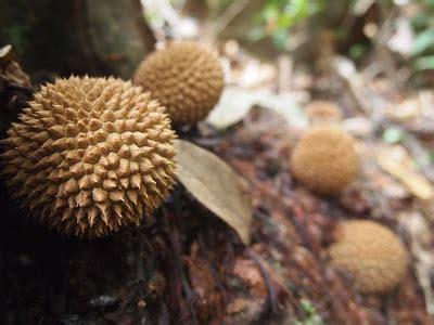 Durian Kura Kura Found