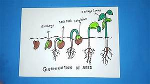 How To Draw Germination Of Seeds Drawing