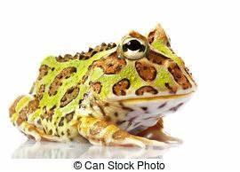 Frosch Als Haustier : pacman frosch exotische fr sche cornuta brasilien lebensunterhalt haustier frosch ~ Buech-reservation.com Haus und Dekorationen