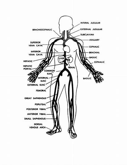 Human Coloring Pages Anatomy Veins Basic Figure