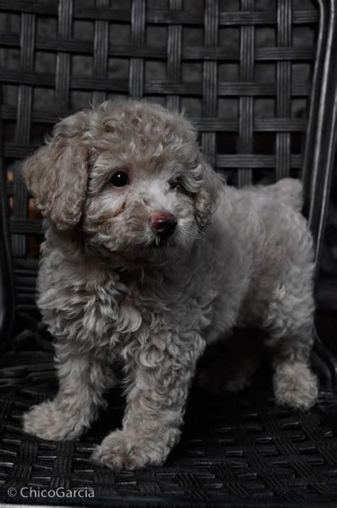 images  poodle puppy  pinterest poodles