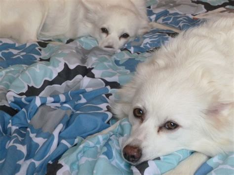 our dogs vannah and sugar they are american eskimo spitz