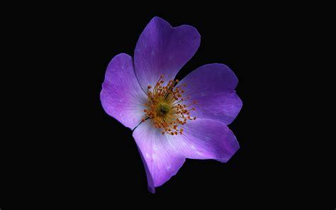 nr macro flower dark purple nature wallpaper
