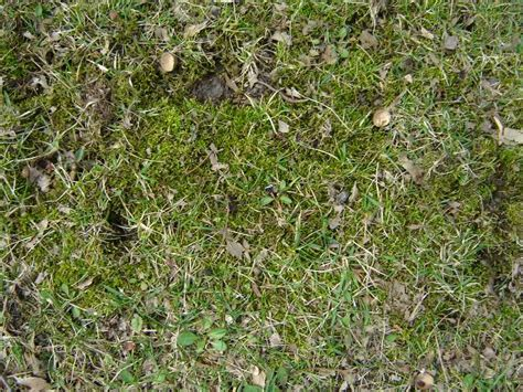 Moss In Lawns