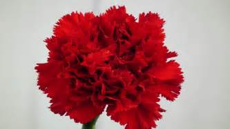 flowers of the month carnation the national flower of spain