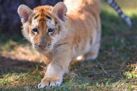 Amazing Wildlife Golden Tabby Tiger Cub Photo Tigers