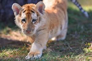 Golden Tabby Tiger cub photo #tigers | Tabby Cat Pics ...