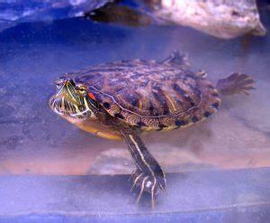 eared slider shedding eared slider turtle facts habitat diet pet care