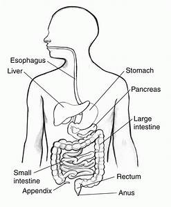 Image Result For Parts Of The Digestive System Coloring