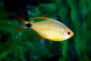 12 great munity tank tetras — Practical Fishkeeping