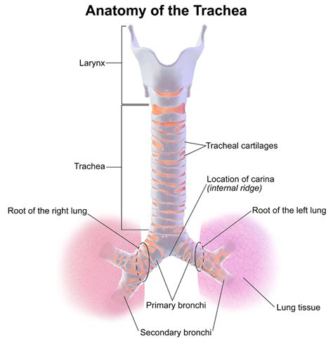 tracheal deviation medical overview symptoms