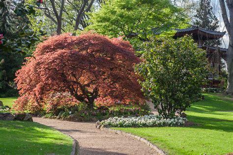 Japanischer Garten Ahorn by Japanischer Roter Ahorn Acer Palmatum Moonfire