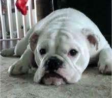 bulldog wikipedia