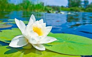 Lotus Flower Me... White Water Lily Quotes