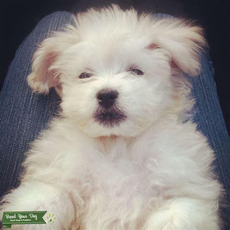 stud dog white maltese poodle  breeding breed