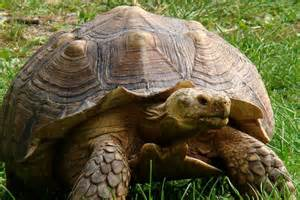 African Spurred Tortoise Zoo