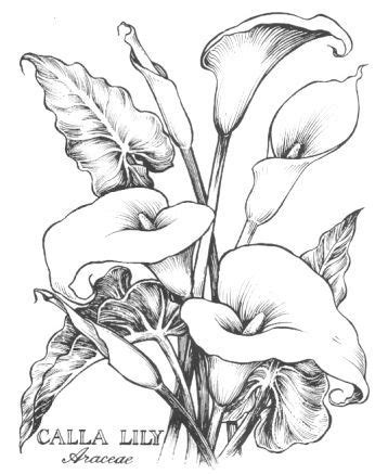 Calla Lilies Drawing calla lilies , lilies and drawings on pinterest | My coloring book | Riscos