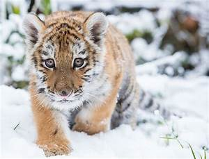 Tiger Cub Trudges Through the Snow Picture | Cutest baby ...