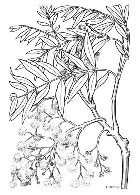 eirene morts acacia illustrations australian plant