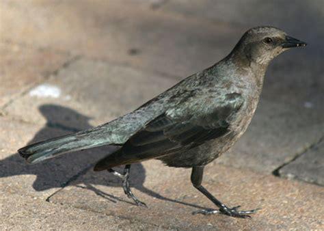 brewer s blackbird euphagus cyanocephalus