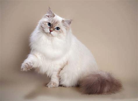 Neva maskas šķirnes kaķu krāsas (15 fotogrāfijas): tabby ...