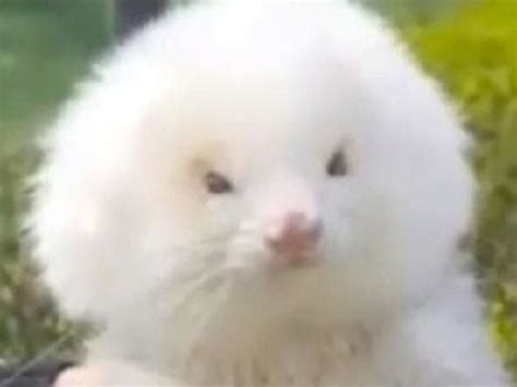 ferrets  steroids sold  dogs  argentina
