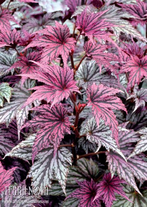 Garden Blush Begonia by Begonia Garden Blush Pewter Silver Palmate