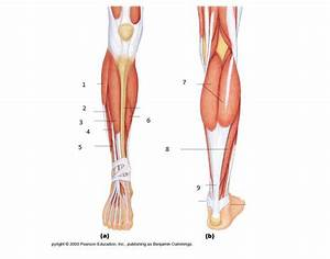 Lower Leg Muscles And Tendons