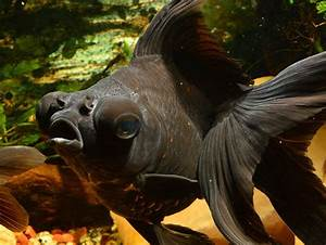 Black Moor Goldfish - Goldfish With A Attitude