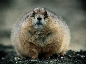 Close View of a Fat Prairie Dog Photographic Print by Joel ...