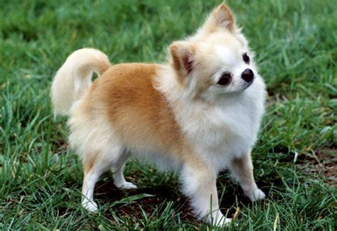 Do Haired Chiweenies Shed by Shedding Chihuahua Breeds Picture