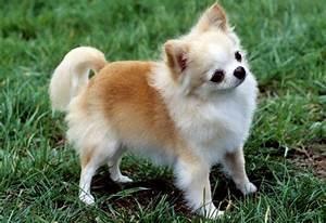 Animal Life Style Chihuahua SheddingDog