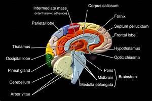 Bcc Biology Models Brain