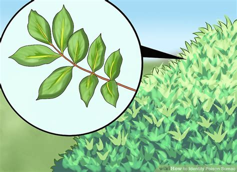 3 easy ways to identify poison sumac with pictures