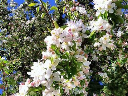 Crabapple Blossoms Wallpapers Desktop Background Watching Backgrounds