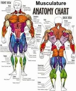Muscular System Anatomical Chart Hd - Google Search