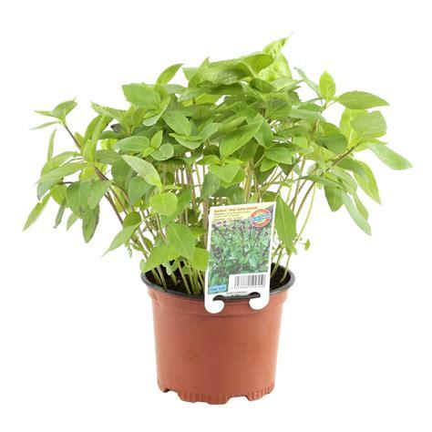 entretien basilic en pot 28 images comment cultiver le basilic en pot 224 longueur d 233 e