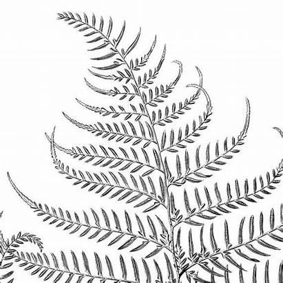 Fern Clipart Botanical Printable Graphics Illustration Lauae